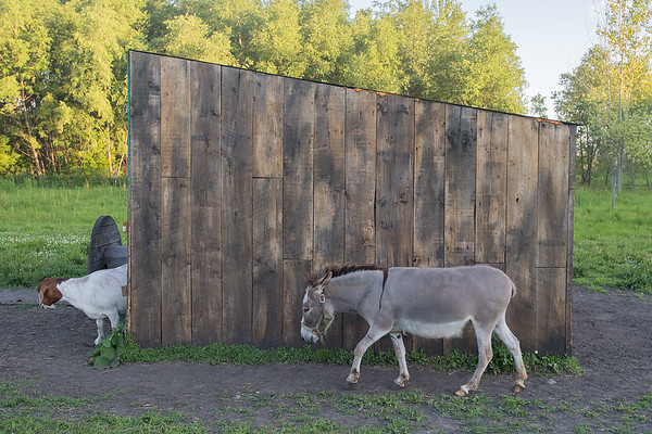 Dorothea Maria the donkey follows Georgia Pie the goat into a small shack at the Pleasant Grove Pizza Farm. The farm will host the Mini Music and Art Fest on July 29, with six musical acts including The Last Revel. Photo by Jackson Forderer