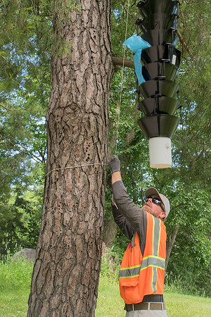 Patrick Walrath, an industry inspector with the Department of Agriculture, lowers an insect trap at Sibley Park. The traps use different pheromones to attract different kinds of insect. Photo by Jackson Forderer