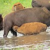 Minneopa bison water baby