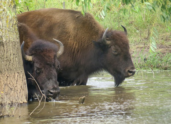 Minneopa bison water 2