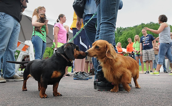 John Cross<br /> Competitors meet in a nose-to-nose challenge prior to the Weiner Dog Races Saturday at Art Splash in North Mankato.