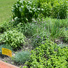 A bed of herbs including mint, sage and horseradish at Glenwood Gardens in Mankato. Photo by Jackson Forderer
