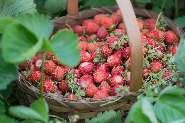A basket of strawberries recently picked by Kirsten Phelps sits in one of the many rows of strawberry plants. Phelps has run Phelps English Garden for the past seven years and sells her flowers and produce at the Mankato Farmers Market. Photo by Jackson Forderer
