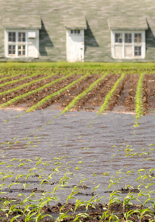 Corn plants stand in a flooded field just east of Nicollet following this past weekend's heavy rain. Photo by John Cross