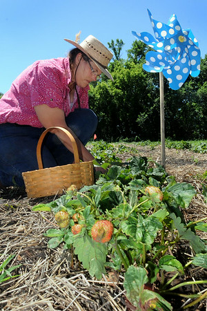 Kirsten Phelps works in her strawberry patch west of Good Thunder. Photo by John Cross