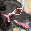 A dog named Abby sports a pair of stylish pink sunglasses during a Mankato MoonDogs game Tuesday at Franklin Rogers Park. Photo by Pat Christman