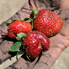 It's been a tough year, so far, for strawberry growers. A cooler than normal spring has delayed the strawberry season by one to two weeks this year. Photo by John Cross