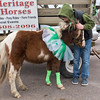 Colton Benson, 11, pets the family's miniature horse Toby before the start of the St. Patrick's Day parade in New Ulm. This was the first year the Benson family participated in the parade with their horses. Photo by Jackson Forderer