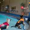 German shepherds Titan, left, and Harper wait for their owner Scott Kludt of Rice, Minn. to throw a toy ball into the pool at The Paw. Kludt and his fiancé Tina Krueger came to The Paw to let Titan take a final swim before he was put down due to cancer. Photo by Jackson Forderer