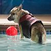 Titan, a German shepherd, took his final swim at the dog pool in The Paw on Friday before being put down. Tina Krueger, Titan's owner, said that even as an older dog, he was always a goofball. Photo by Jackson Forderer