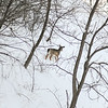 A deer navigates the terrain on a hillside in rural Mankato in February. Photo by Jackson Forderer
