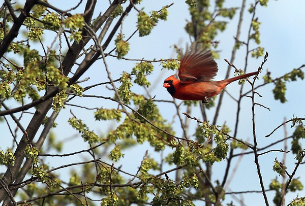 A cardinal wings from branch to branch while nibbling on spring buds Tuesday in Mankato. Photo by Pat Christman