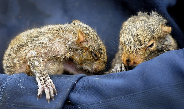 The pair of squirrels under Guth's care about 5 weeks old. Photo by Pat Christman