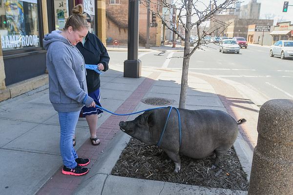 Maddie Exline stops along Riverfront Drive to let her pig Lucy relieve herself as Exline and Sanjay Roozen walked Lucy to Mom and Pop's for ice cream. Roozen holds a bag with which they used to clean up after Lucy. Photo by Jackson Forderer