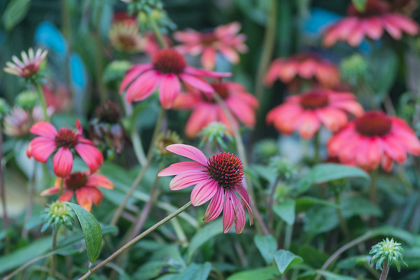Cone flowers are just one of many varieties of flowers blooming at Edenvale Nursery. Roses are also beginning to bloom just in time for Mother's Day. Photo by Jackson Forderer