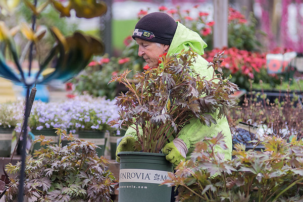 Kim Sogaard puts shrubs out for sale in the courtyard at Edenvale Nursery on Tuesday. The business is ramping up for its opening weekend May 10-12. Photo by Jackson Forderer