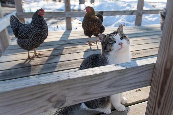 Marshmello the cat hangs out with some chickens on a hay bale trailer at Ruby Ranch Barn in rural Pemberton. Owner Ashley Rehder said they specialize in kid camps in the summer where they can interact with goats, ducks, chickens, bunnies and cats. Photo by Jackson Forderer