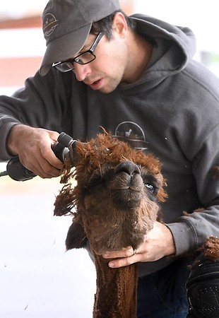 Sibley Park alpacas get their annual haircut
