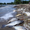 John Cross<br /> Fish killed by a bacterial infection called columnaris line the shoreline of Clear Lake at Waseca.