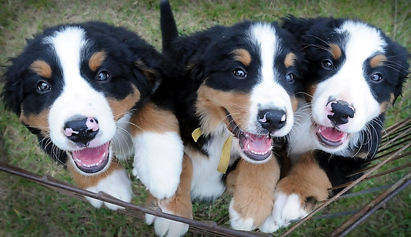 John Cross<br /> Bernese mountain dog puppies offer grins for the camera at the Key City Kennel Club's All Breed Dog that continues through today at the Nicollet County Fairgrounds in St. Peter.