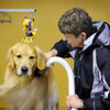 John Cross<br /> Mitchell, a golden retriever, gets primped by his owner, Judy Super of Plymouth, ior his showing Saturday during the Key City Kennel Club All Breed Dog show at the Nicollet County Fairgrounds in St. Peter.