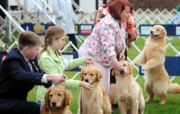 John Cross<br /> Handlers steady their golden retrievers for the judge's scrutiny at the Key City Kennel Club All Breed Dog show this weekend at the Nicollet County Fairgrounds in St. Peter.