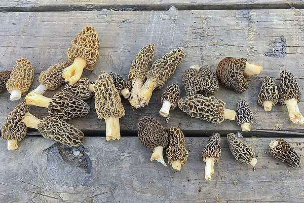 Often hidden beneath leaves and brush, Morels pop up on the landscape for a few short weeks in May, and area mushroom hunters canvas southern Minnesota to find them. Photo by Amanda Dyslin