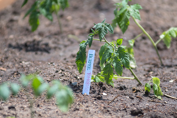 A Burpee tomato plant in one of the raised beds at the South Central College community garden. Students will be able to harvest from the gardens for culinary classes. Photo by Jackson Forderer