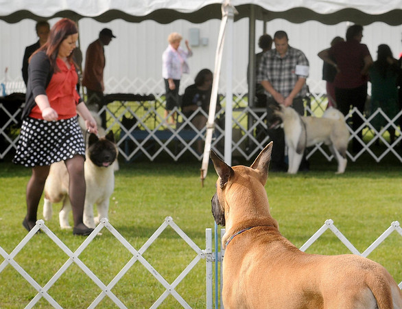 A Great Dane watches the action while waiting in the wings at The Key City Kennel Club's All Breed Dog Show on Saturday in St. Peter. Photo by John Cross