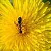 An ant crosses the yellow landscape of a dandelion blossom.