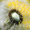 Ripe seeds cling to the head of a dandelion awaiting dispersal by a breeze or passing animal.