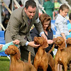 Handlers prepare their Vizslas for the judges scrutiny at the Key City Kennel Club's All Breeds Dog Show on Saturday in St. Peter. Photo by John Cross