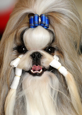 A Lhasa Apso gets a little help in keeping it's new 'do in place at the Key City Kennel Club's All Breed Dog Show in St. Peter on Saturday. Photo by John Cross