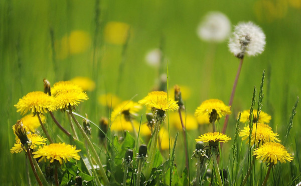 Love 'em, mostly hate 'em, but it's hard not to admire the persistence of the lowly dandelion.