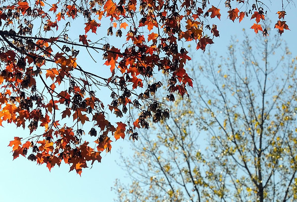 Pat Christman<br /> Yellow and green leaves fade to orange and brown then fall completely in the coming months.