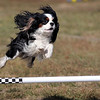 Brio, a Cavalier King Charles spaniel, sails over a jump during the Key City Kennel Club's All-Breed Agility Trials Saturday at the Nicollet County Fairgrounds.
