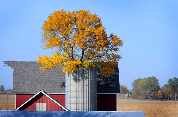The canopy of a tree spreads out like a golden bouquet above the open silo in which it has grown on a farm east of Eagle Lake. Presumably sprouting from a wind-blown seed that settled into the unused structure decades ago, the tree has managed to grow and flourish.
