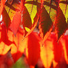John Cross<br /> Summer green gives way to autumn reds in a roadside stand of sumac near Ottawa. The fall foliage display is expected to be muted by dry conditions this past summer.