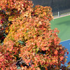 Pat Christman<br /> A tree in full fall color frames a Mankato West tennis player during a match against Mankato East.