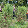 From left, Annie Carlson, Jack Fischer and Megan Setterlund perform a dance amongst tomato plants that was choreographed by Gustavus dance major Maddi Miller at the Big Hill Farm on Gustavus' campus as part of the Nobel Conference. This year's conference focuses on dirt and soil issues. Photo by Jackson Forderer