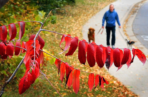 John Cross<br /> Sumac frames Pat Kunerth as he takes his canine charges for a walk along Val Imm Drive near Minnesota State University on Monday. According to the Minnesota Department of Natural Resources, fall foliage in southern Minnesota  was at 50-75 percent from peak colors as of  yesterday. However, a succession of windy days last week stripped many trees of their foliage.