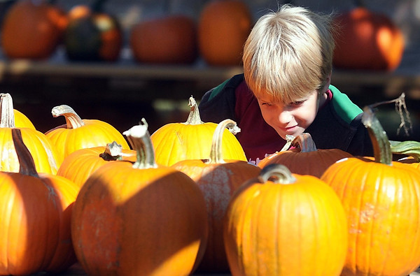 Pat Christman<br /> Max Bentley, 7, examines pumpkins while with his grandparents at Barry and Katy Wortel's pumpkin farm Friday in Mankato.