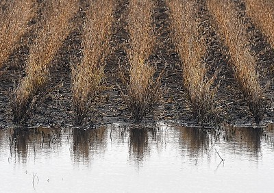 Soggy soybeans