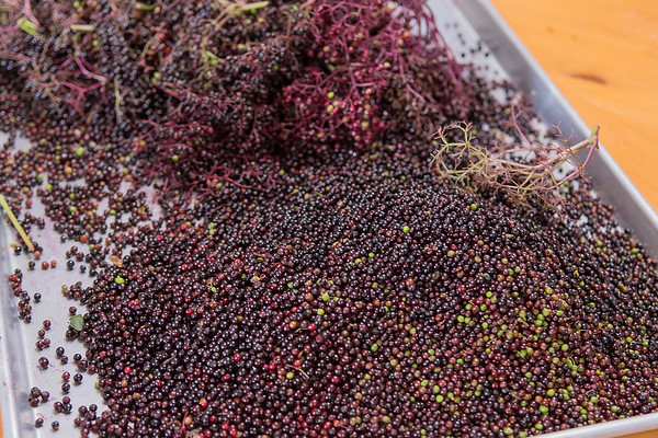 A pile of elderberries on the kitchen table in Megan Schnitker's home in Mankato. The elderberries will be made into a syrup by Schnitker, which is known to fight the flu.