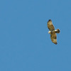 """An immature red-tailed hawk flies above Bethany. Heins calls it one of the """"local birds,"""" meaning it's just kind of hanging around looking for food rather than migrating South, so Heins doesn't record the sightings."""