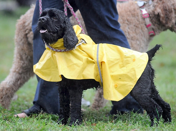 Pat Christman <br /> A dog at Saturday's Arf Walk sports a rain coat in an attempt to stay dry.