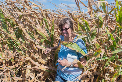 Deanna Biehn of Nicollet County emerges out of a corn field after taking pictures of rows of feed corn near the Oshawa Township Hall in rural St. Peter on Thursday.  Photo by Jackson Forderer
