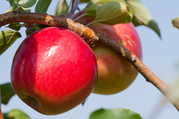 Horticulture -- U of M Varieties -- Tree fruits -- Apples -- Rave/First Kiss