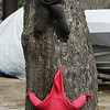Wilmington features. Pretend tree climbers on a tree in a yard on Lake Street. (SUN/Julia Malakie)