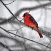 A cardinal perches on a branch in the snow storm. Photo submitted by Becki Joppru Connolly.